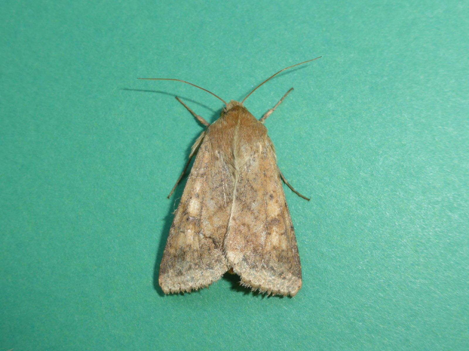 Helicoverpa armigera - Scarce Bordered Straw - Kirk Smeaton