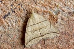 Herminia grisealis - Small Fan-foot, Austerfield.