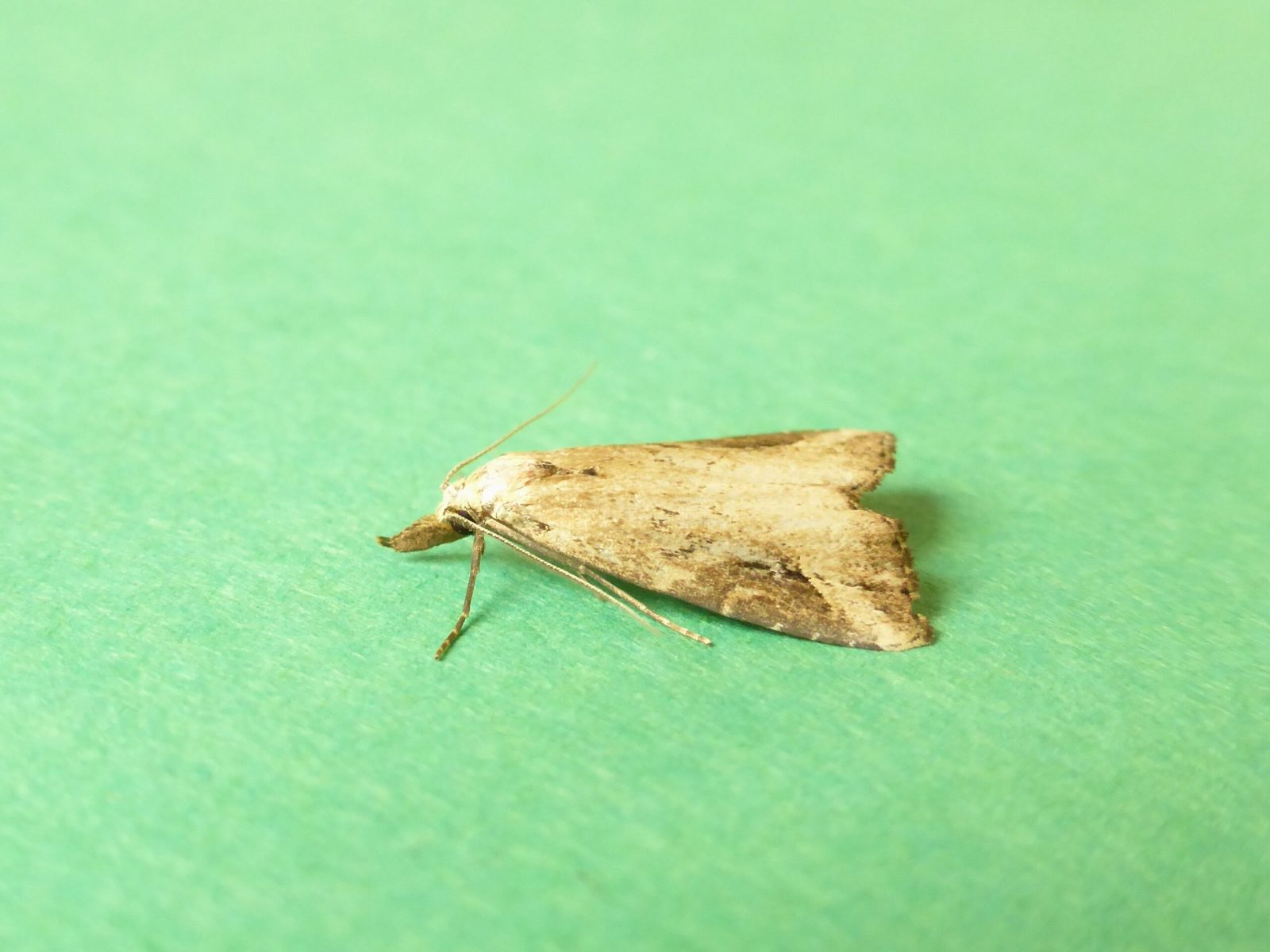 Schrankia costaestrigalis - Pinion-streaked Snout - Kirk Smeaton
