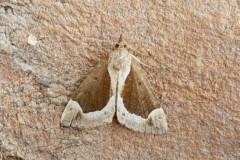 Hypena crassalis - Beautiful Snout, Austerfield.