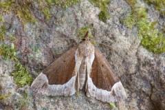 Hypena crassalis - Beautiful Snout, Woodside Nurseries, Austerfield.