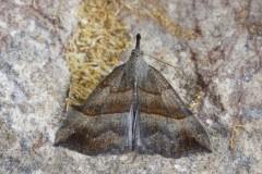 Hypena proboscidalis - The Snout, Austerfield.