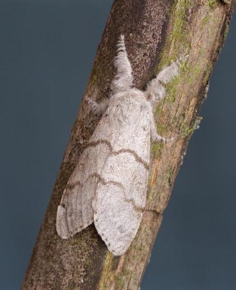 Callitarar pudibunds - Pale Tussock, Woodside Nurseries, Austerfield.