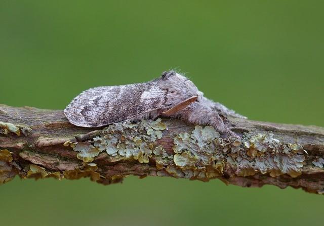 Calliteara pudibunda - Pale Tussock, (male), Woodside Nurseries, Austerfield.
