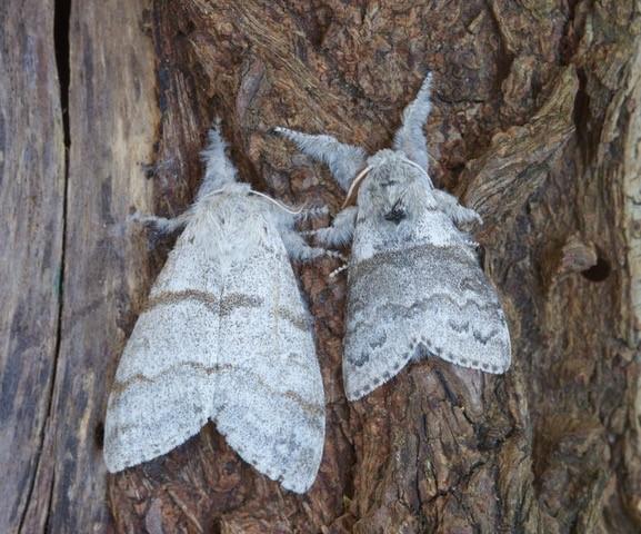 Calliteara pudibunda - Pale Tussock, (male and female), Woodside Nurseries, Austerfield.