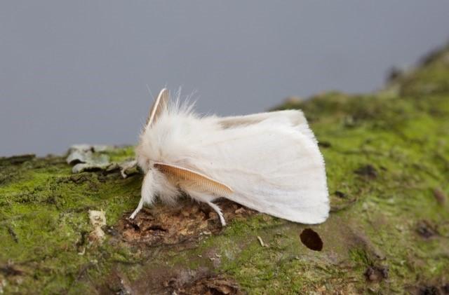 Euproctis chrysorrhoea - Brown-tail, Woodside Nurseries, Austerfield.