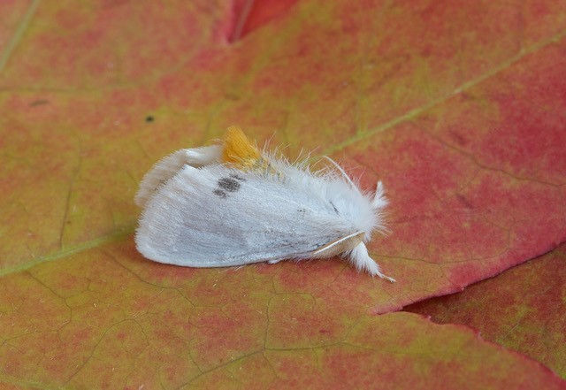 Euproctis similis - Yellow-tail, Woodside Nurseries, Austerfield.
