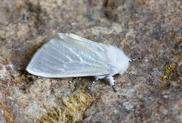 Leucoma salicis - White Satin Moth, Woodside Nurseries, Austerfield.