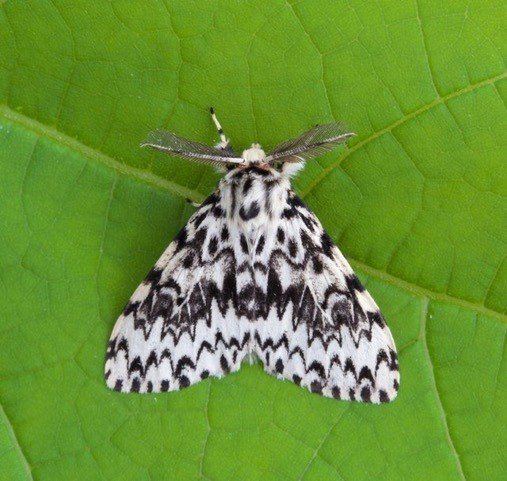 Lymantria monacha - Black Arches, Woodside Nurseries, Austerfield.