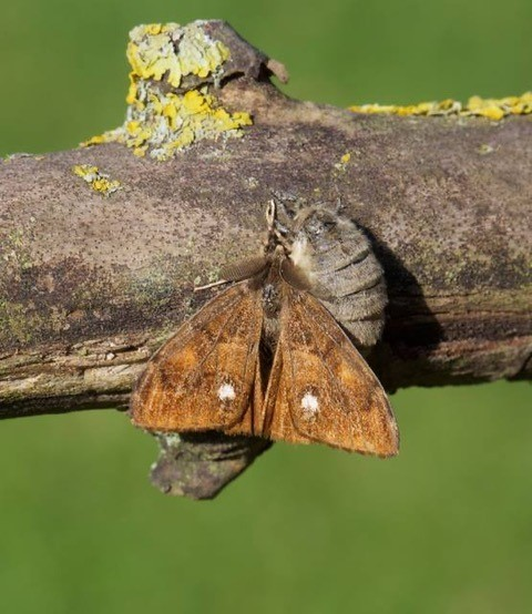 Orgyia antiqua - The Vapourer, Male and flightless female, mating pair), Woodside Nurseries, Austerfield.