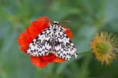 Lymantria monacha - Black Arches, Woodside Nurseries, Austerfield.