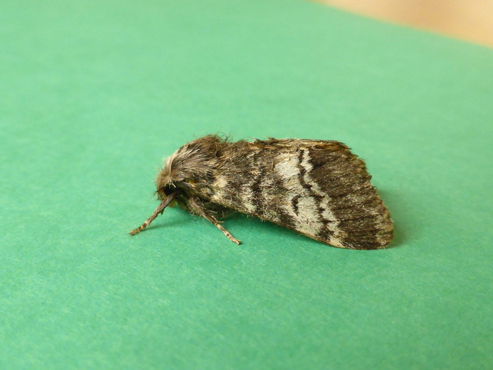 Drymonia ruficornis - Lunar Marbled Brown - Kirk Smeaton