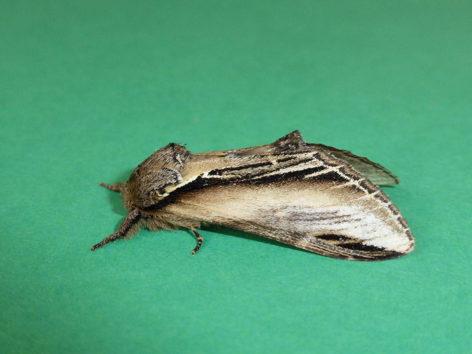 Pheosia tremula - Swallow Prominent - Kirk Smeaton