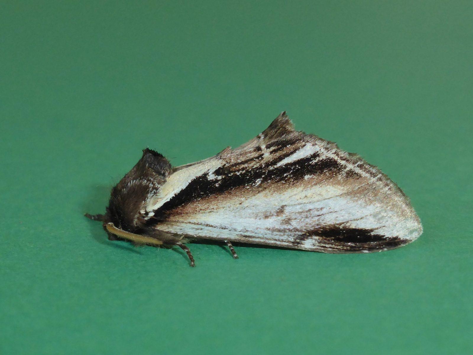 Pheosia gnoma - Lesser Swallow Prominent - Kirk Smeaton