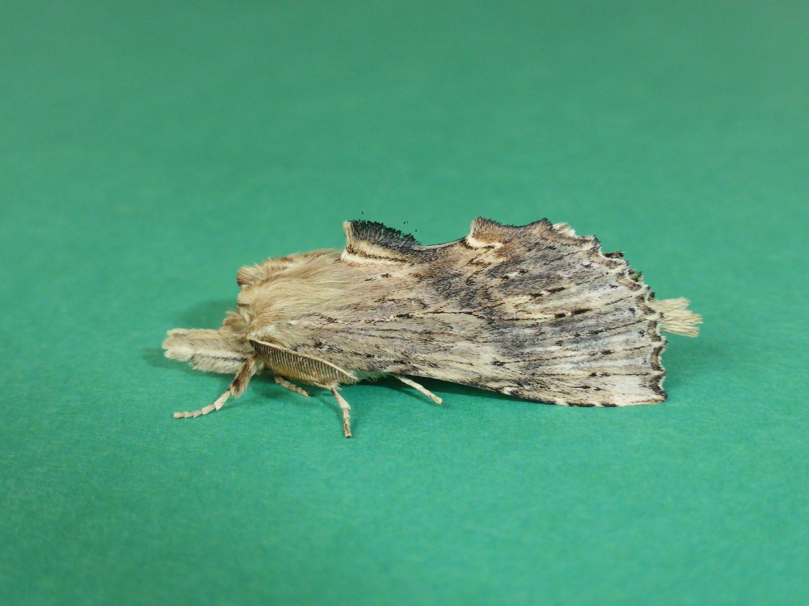 Pterostoma palpina - Pale Prominent - Kirk Smeaton