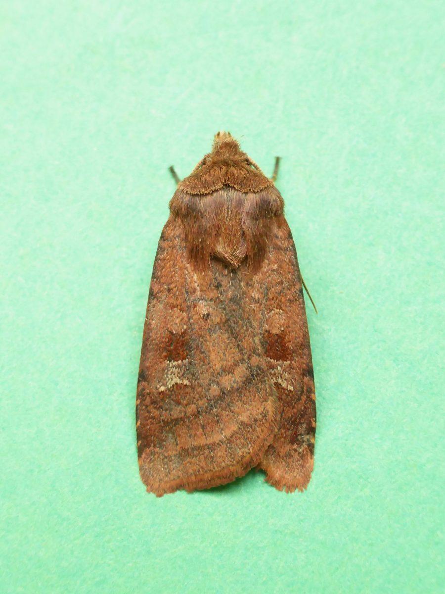 Diarsia rubi - Small Square-spot -  Kirk Smeaton