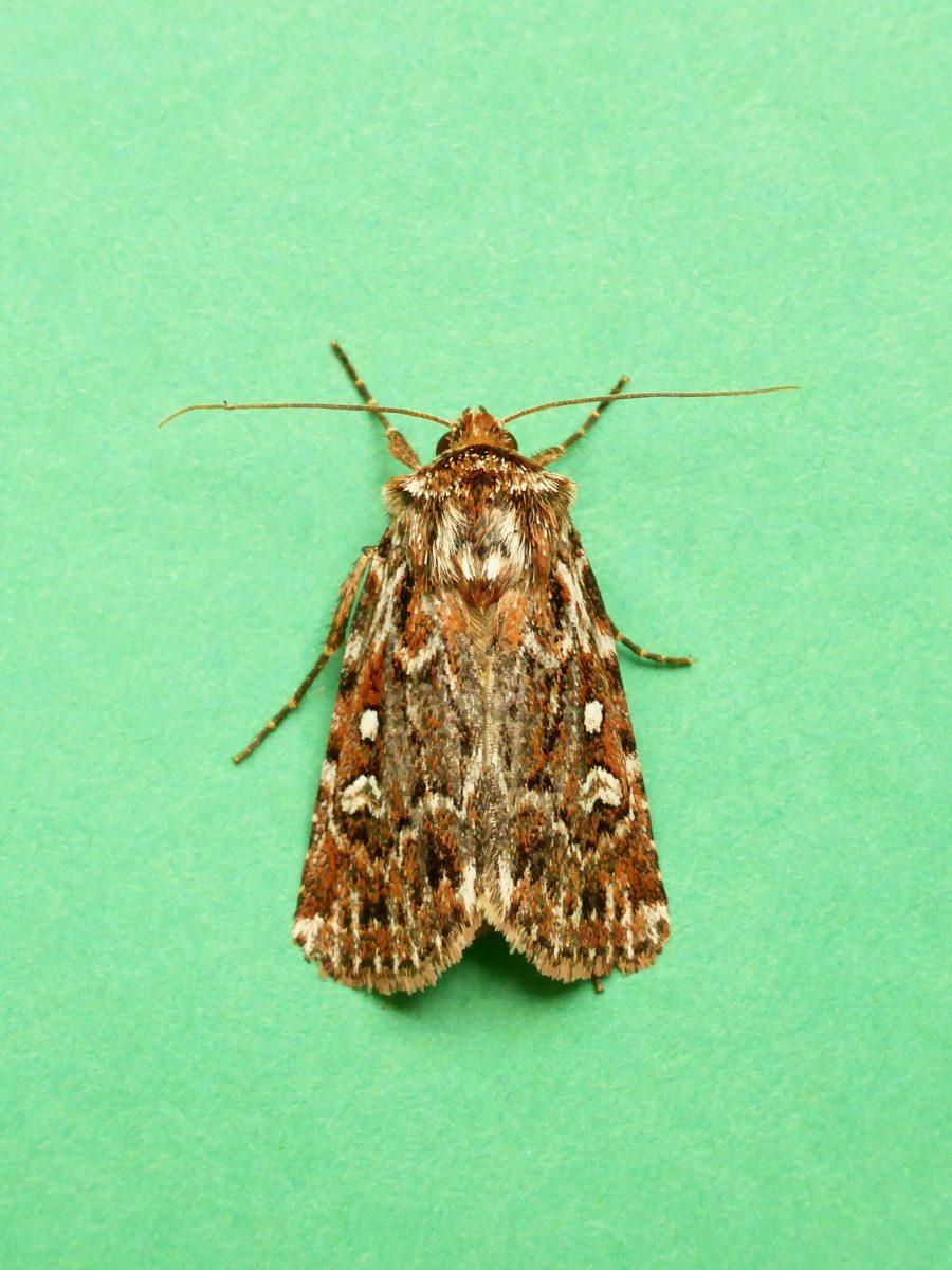Lycophotia porphyrea - True Lover's Knot - Kirk Smeaton