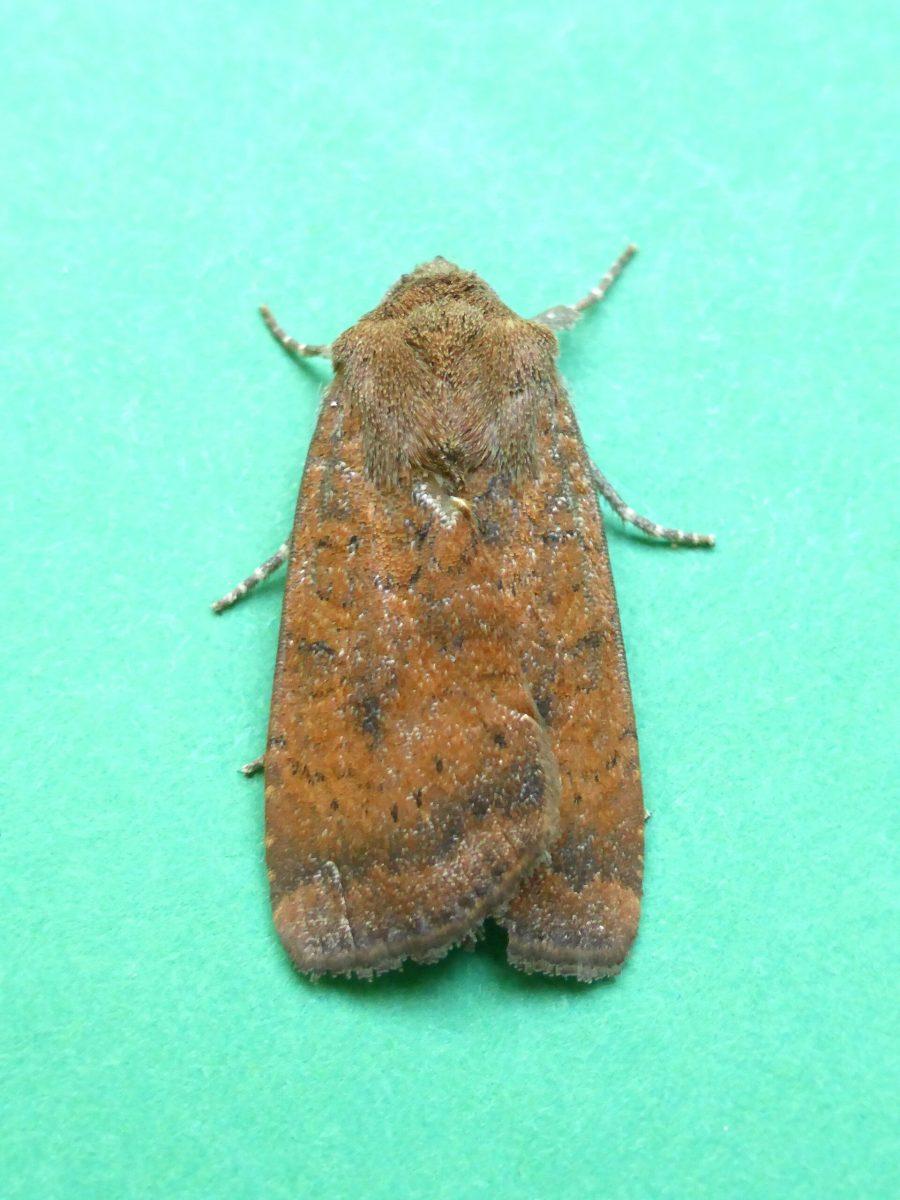 Noctua interjecta caliginosa - Least Underwing - Kirk Smeaton