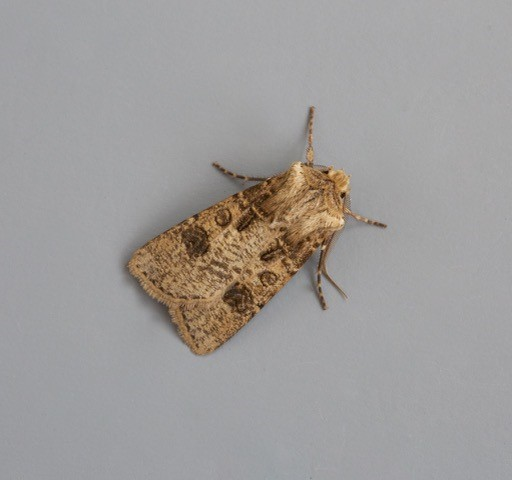 Agrotis clavis - Heart and Club, Austerfield.