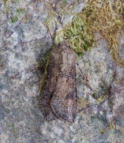 Agrotis segetum - Turnip Moth, Austerfield.