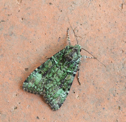 Anaplectoides pralina - Green Arches, Austerfield.