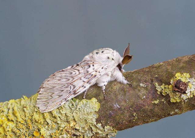 Cerura vinula - Puss Moth, Woodside Nurseries, Austerfield.