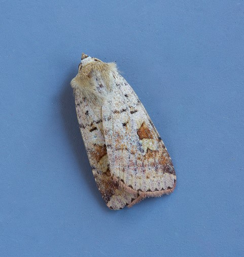 Diarsia mendica - Ingrailed Clay, Austerfield.