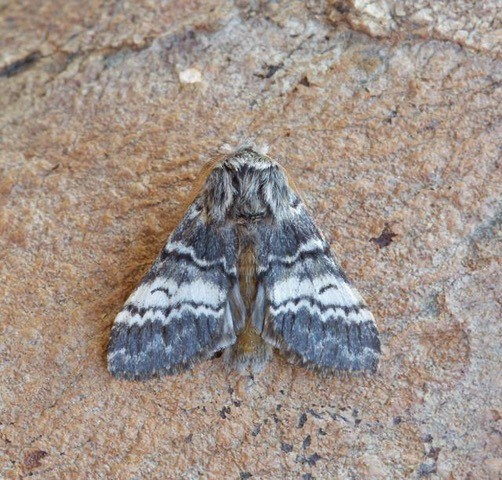 Drymonia ruficornis - Lunar Marbled Brown, Woodside Nurseries, Austerfield.