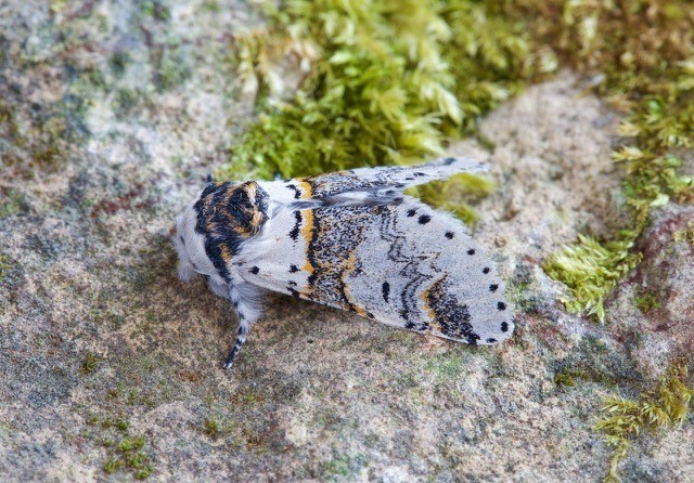 Furcula furcula - Sallow Kitten, Woodside Nurseries, Austerfield.