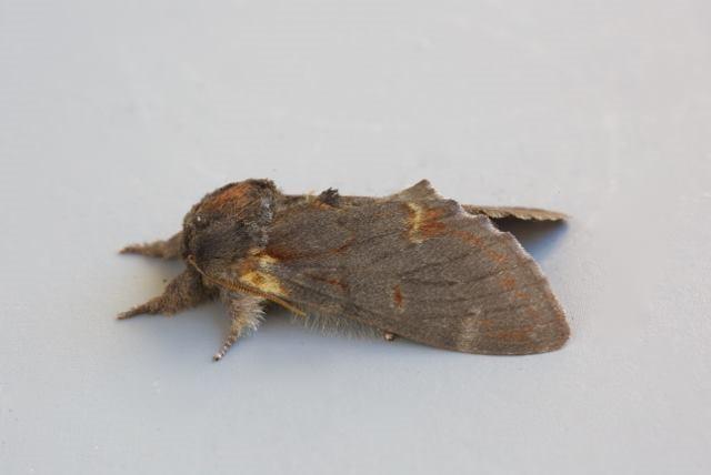 Notodonta dromedarius - Iron Prominent, Woodside Nurseries, Austerfield.