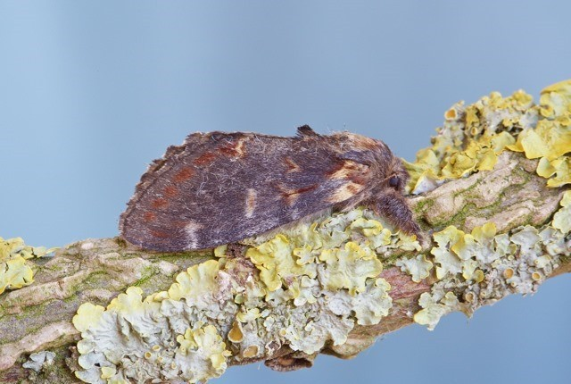 Notodonta dromedarius - Iron Prominent, Woodside Nurseries, Austerfield.