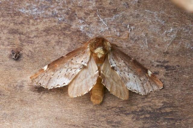Odontosia carmelita - Scarce Prominent, Woodside Nurseries, Austerfield.