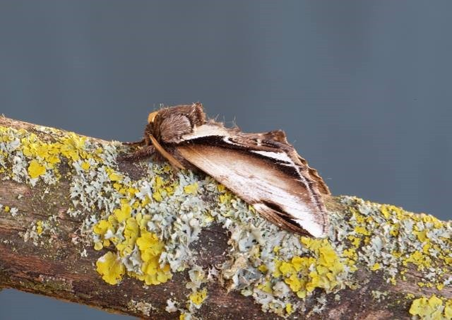 Pheosia gnoma - Lesser Swallow Prominent, Woodside Nurseries, Austerfield.