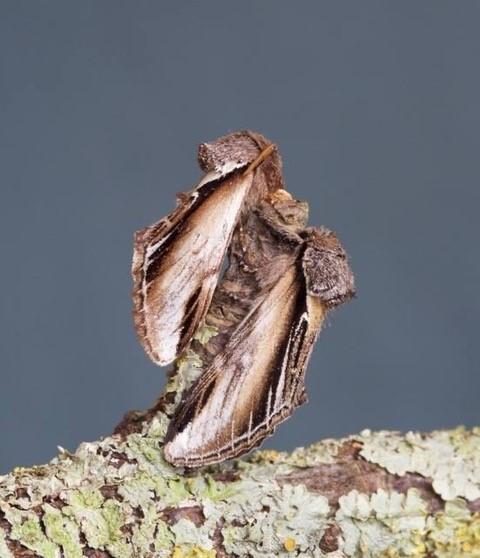 Pheosia gnoma - Lesser Swallow Prominent, Woodside Nurseries, Austerfield.