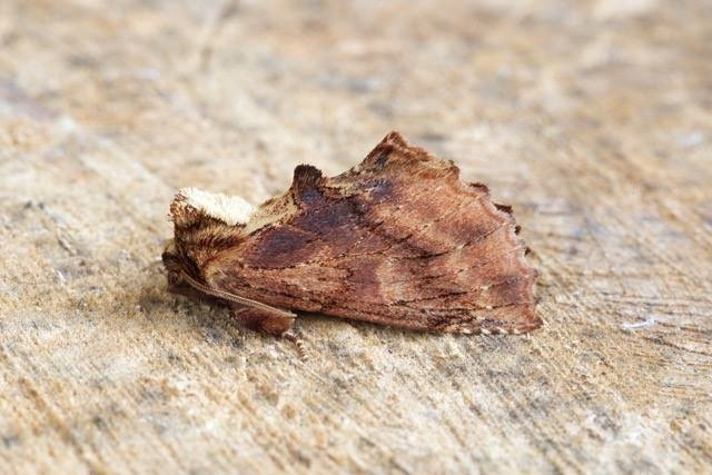 Ptilodon capucina - Coxcomb Prominent, Woodside Nurseries, Austerfield.