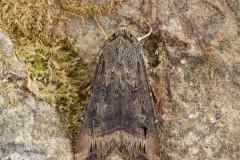 Agrotis ipsilon - Dark Sword-grass, Austerfield.