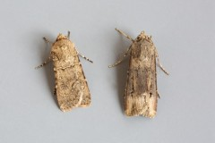 Agrotis ipsilon - Dark Sword-grass and Agrotis segetum - Turnip Moth (confusion species comparison), Austerfield.
