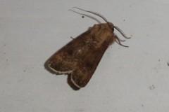 Agrotis segetum - Turnip Moth, Cusworth Lane, Doncaster