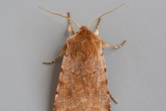 Cerastis rubricosa - Red Chestnut, Austerfield.