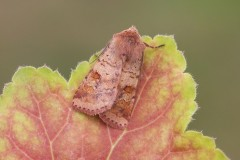 Diarsia mendica - Ingrailed Clay, Austerfield.
