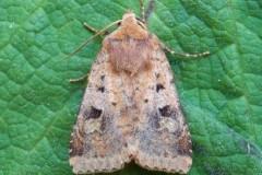 Diarsia rubi - Small Square-spot, Austerfield.