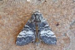 Drymonia ruficornis - Lunar Marbled Brown, Woodside Nurseries, Austerfield.
