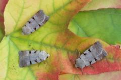 Eugnorisma glareosa - Autumnal Rustic, Austerfield.