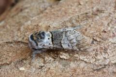 Furcula bifida - Poplar Kitten, Woodside Nurseries, Austerfield.
