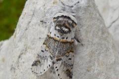 Furcula furcula -  Sallow Kitten, Intake, Doncaster