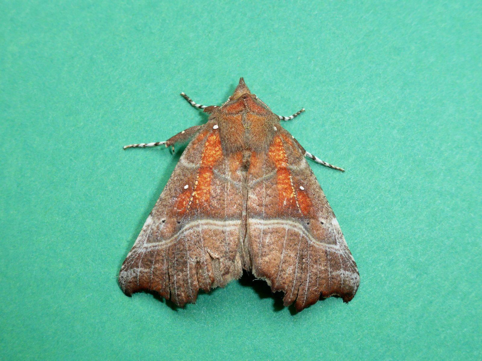 Scoliopteryx libatrix - Herald - Kirk Smeaton