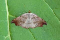 Laspeyria flexula - Beautiful Hook-tip, Austerfield.