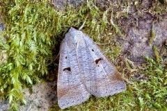 Lygephila pastinum - The Blackneck, Austerfield.
