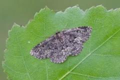 Parascotia fuliginaria - Waved Black, Austerfield.