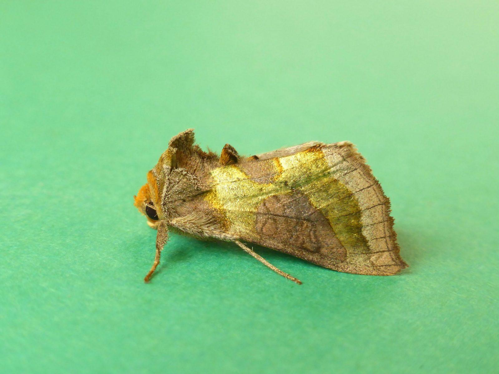Diachrysia chrysitis - Burnished Brass form juncta - Kirk Smeaton